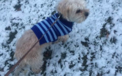 Hank, a short haired dog,  enjoys the snow with a sweater on.