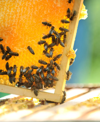 Student entrepreneurs start Tanglewood Farms Honey