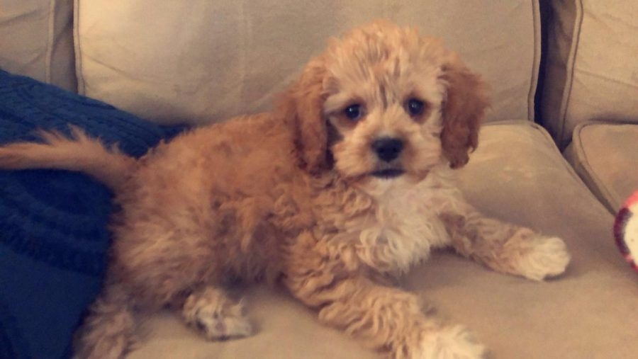 Freshman at Orono High School, Maddie Johnson just got a new Cavapoo puppy. His name is Theo!