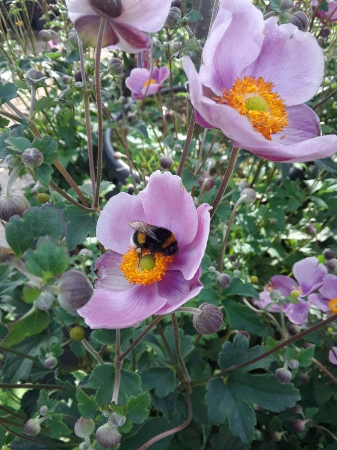 A bumblebee continues its busy work day while bringing joy to those that witness it.
